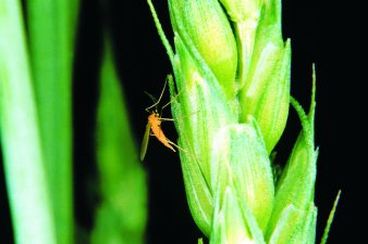 Figure 1. Side view of the wheat midge resting on wheat spikelets