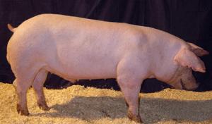 Livestock Genetics - Porcine Germplasm