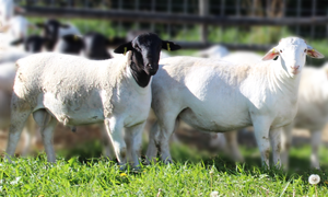 Dorper/White Dorper Sheep Genetics