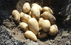 High Quality Seed Potatoes