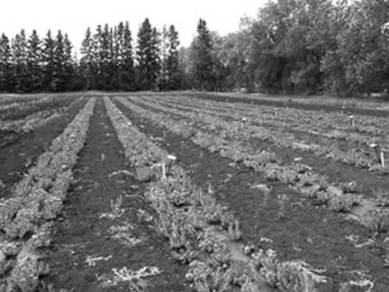Figure 3. Plant row spacing.