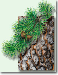 lodgepole pine leaf, cone and bark details