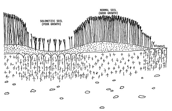 Figure 3. Solonetzic soil with columnar-structured B horizon, which restricts water and root penetration into sub-soil
