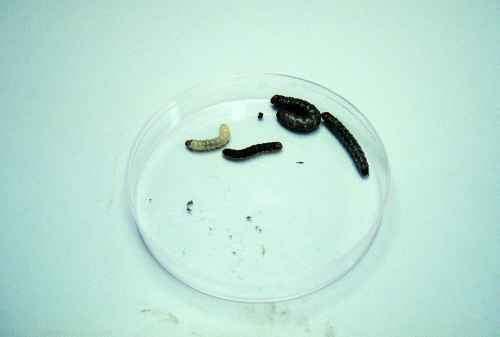Figure 15. Glassy cutworm larvae.