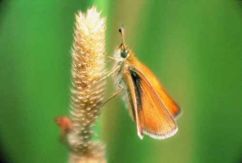 Figure 17. European skipper butterfly.