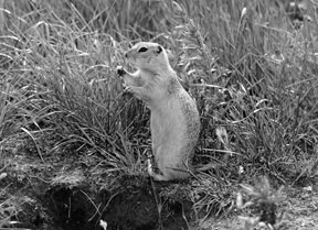 Figure 2. Richardson's ground squirrel