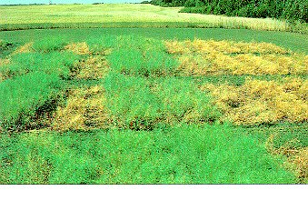 Figure 8. Tolerant and susceptible canola on blackleg infested land. dead central strip Westar (5) left to right. Green, Cyclone (2) Legend (3) (side by side). Large dead areas to the right are polish canolas (4). Numbers in brackets reflect disease ratin