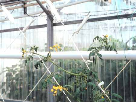 Commercial Greenhouse Tomato Production: Introduction