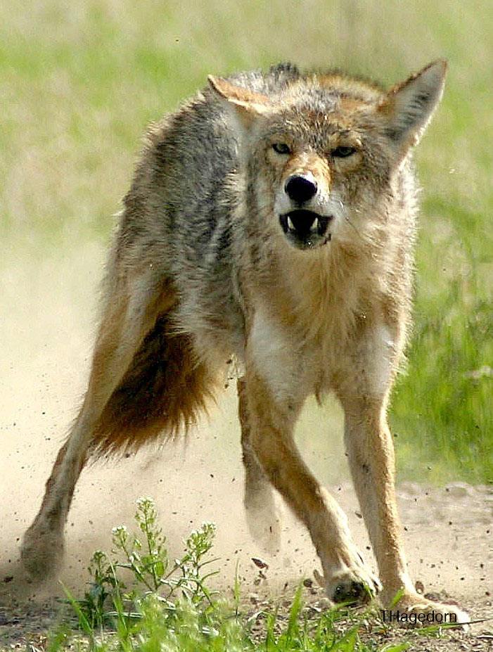 Coyotes are responsible for the majority of predation losses