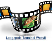 Lodgepole Terminal Weeveil Slide Show