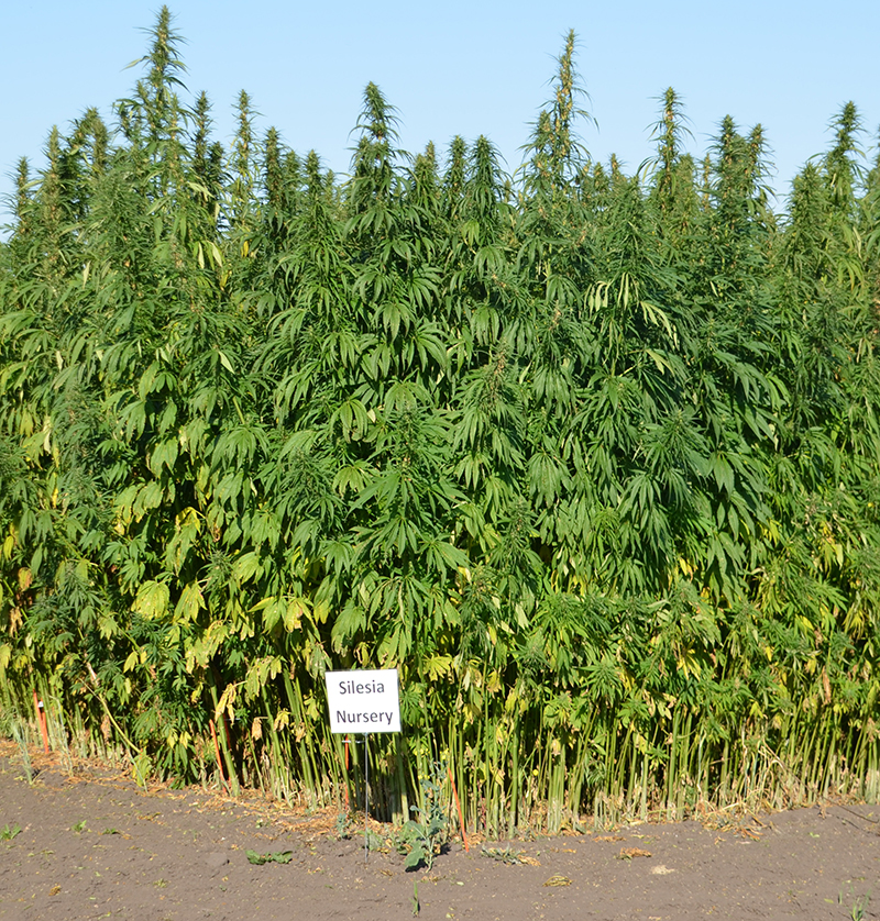 Silesia Nursery hemp crop