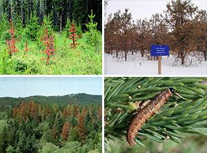Images of trees affected by disease, and a forest pest