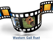 Western Gall Rust Slide Show